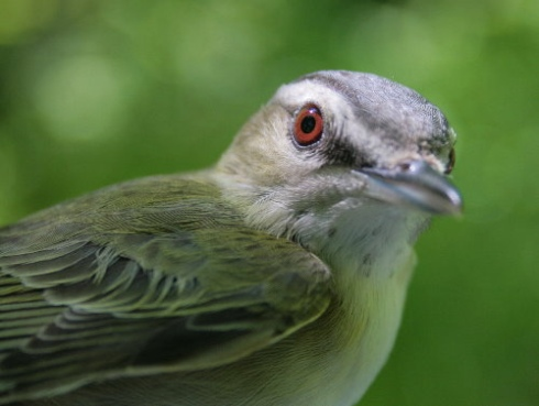 Red-eyed Vireo (S.Leckie)