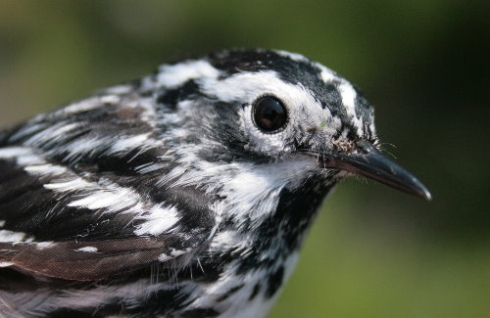 Black-and-white Warbler (Leckie)