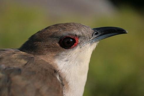 Black-billed Cuckoo (Leckie)