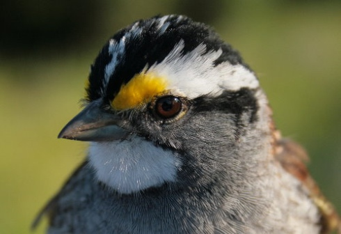 White-throated Sparrow (S.Leckie)