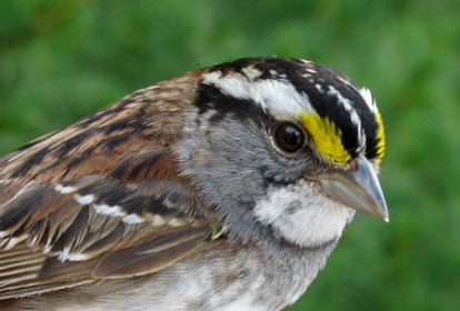 White-throated Sparrow (Derbyshire)
