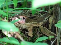 Veery on nest
