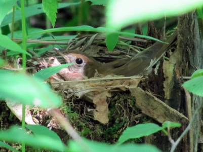 Veery on nest