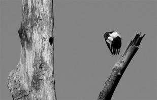 Red-headed Woodpecker nest
