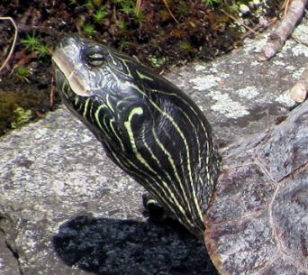 Map Turtle