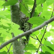 Black-throated Green Warbler (female incubating)
