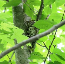 Black-throated Green Warbler (female incubating)