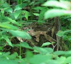Veery (female incubating)