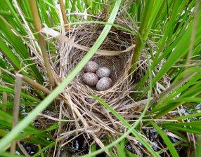 Swamp Sparrow (photo by Steve Gillis)