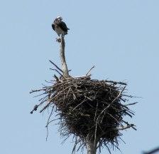 Osprey (adult guarding)