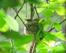 American Redstart (female incubating)