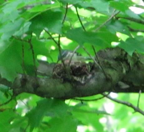 Cerulean Warbler (female feeding young)