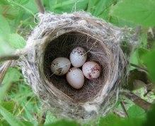 Prairie Warbler