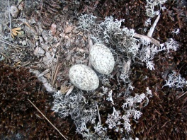 Common Nighthawk nest